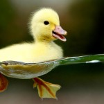 Cute_Baby_Duck_HD