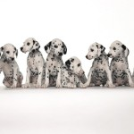 Dalmatian_puppies_wallpapers