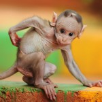 baby-macaque-india_56390_990x742