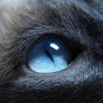 ws_Cat_with_blue_eyes_851x315